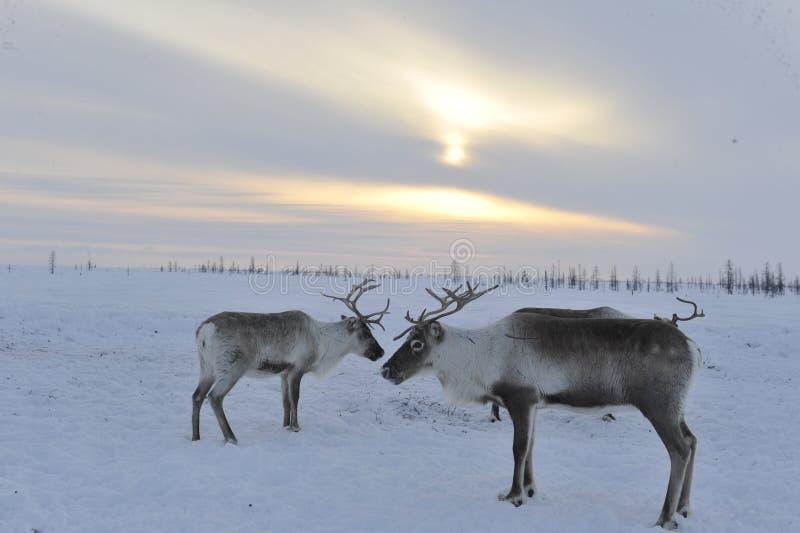 Ρωσικός αρκτικός αυτόχθων στοκ φωτογραφία