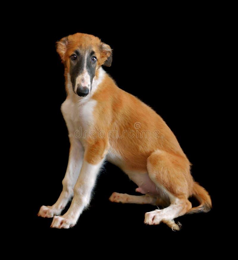 Ρωσικό κουτάβι σκυλιών borzoi στοκ φωτογραφίες με δικαίωμα ελεύθερης χρήσης