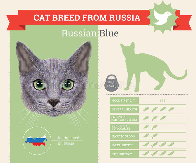 Ρωσικό μπλε infographics φυλής γατών διανυσματική απεικόνιση
