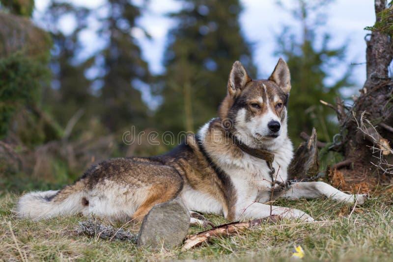 Ρωσικό πορτρέτο σκυλιών κυνηγών στοκ εικόνες