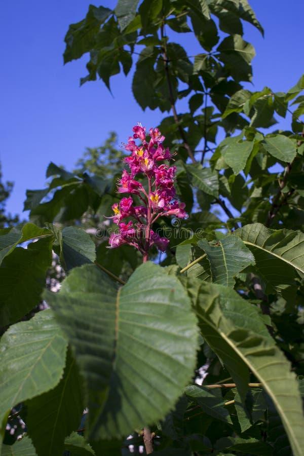 Ρόδινα άνθη δέντρων κάστανων στοκ εικόνα με δικαίωμα ελεύθερης χρήσης