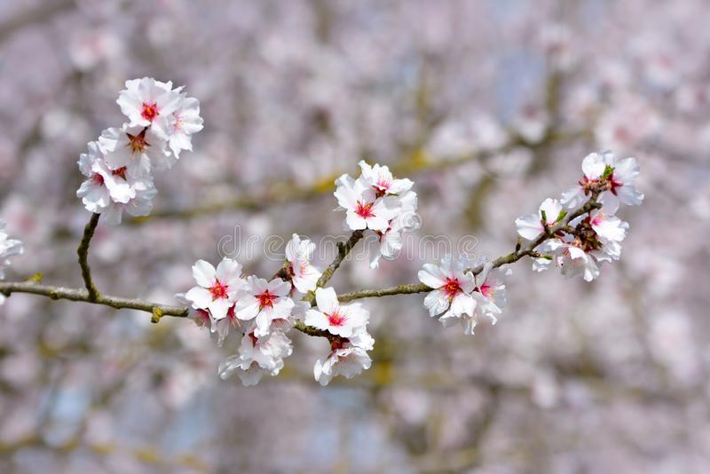 Ρόδινα λουλούδια ανθών αμυγδάλων στο γερμανικό δέντρο Prunus Dulcis στοκ φωτογραφία