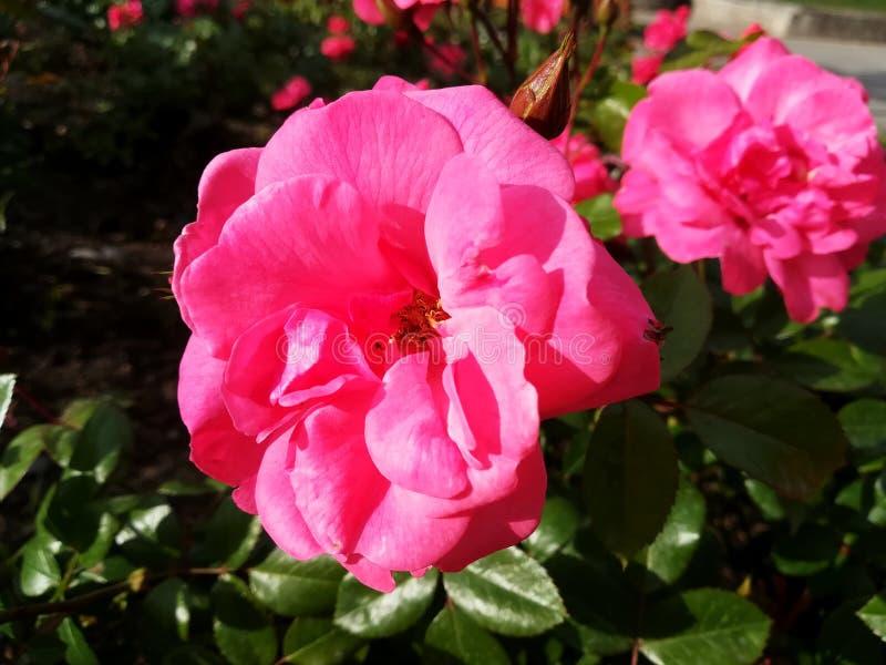 Ρόδινα λουλούδια και πράσινα grases στοκ εικόνες με δικαίωμα ελεύθερης χρήσης