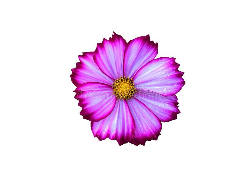 Ρόδινα λουλούδια κόσμου μιγμάτων άσπρα που ανθίζουν με τη σταγόνα βροχής που απομονώνεται στο άσπρο υπόβαθρο στοκ εικόνα με δικαίωμα ελεύθερης χρήσης