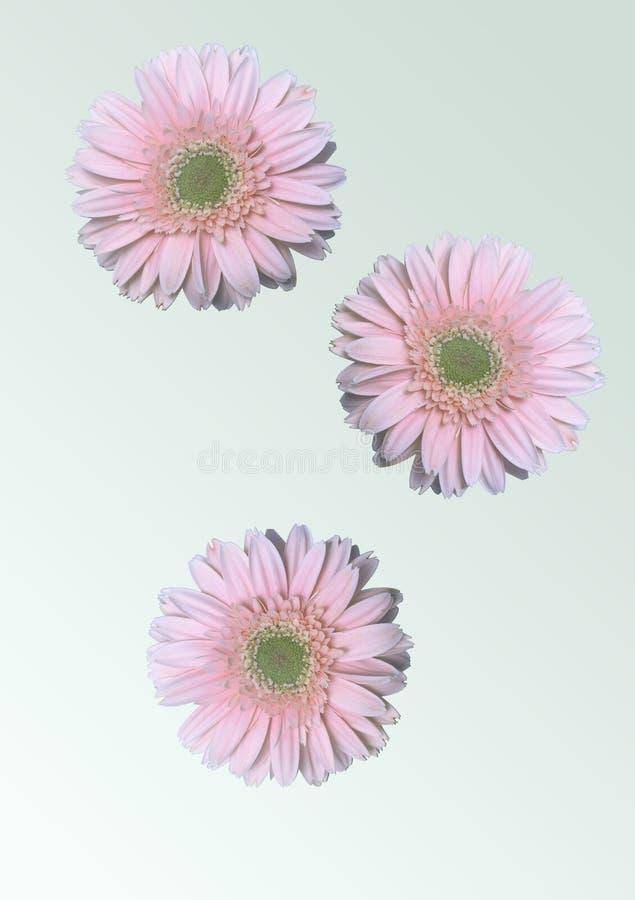 Ρόδινα λουλούδια μαργαριτών Δωρεάν Στοκ Φωτογραφία