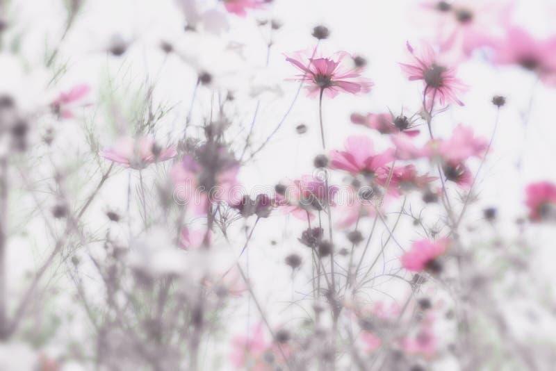 Ρόδινα λουλούδια με το μαλακό και μουτζουρωμένο άσπρο υπόβαθρο Ονειροπόλος επίδραση στοκ εικόνα