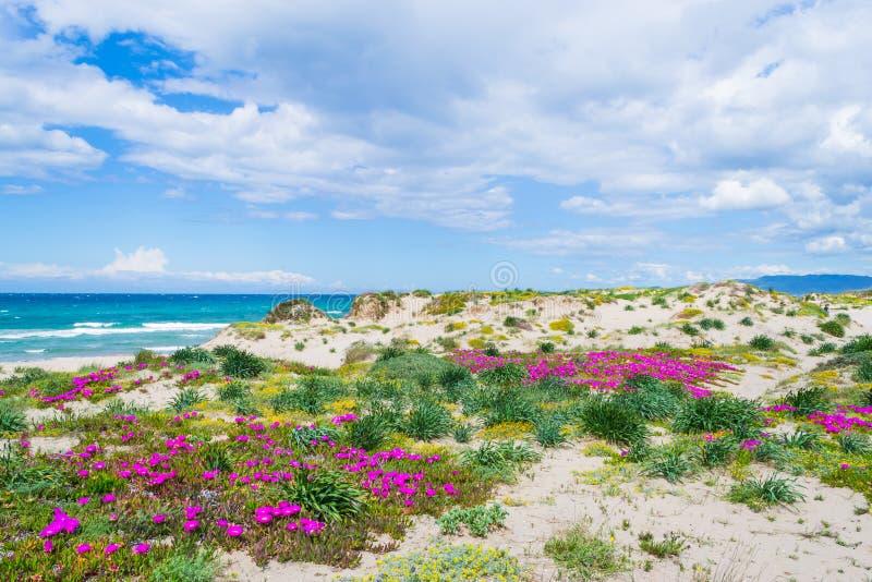 Ρόδινα λουλούδια στην ακτή Platamona στοκ εικόνες