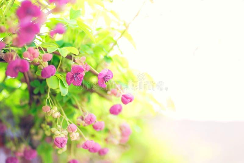 Ρόδινα λουλούδια στο άνθος αναμμένο και ρομαντικό στοκ φωτογραφία