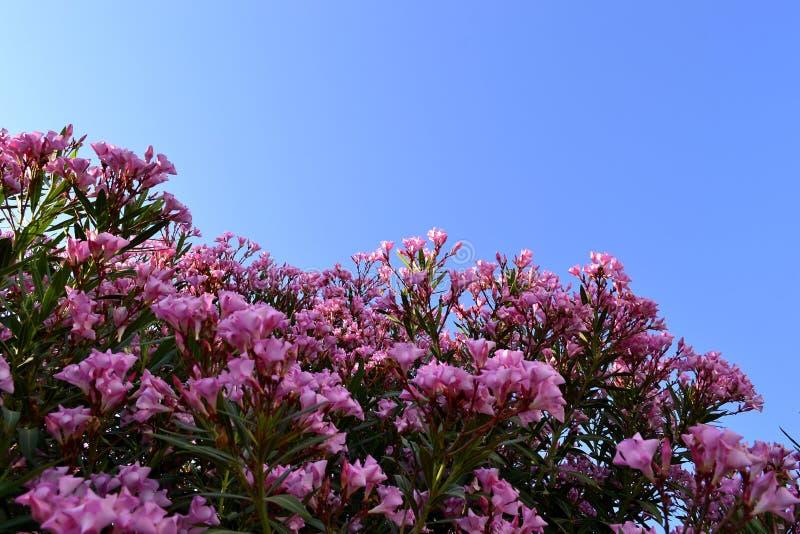 Ρόδινα λουλούδια στο Μπους στοκ εικόνες με δικαίωμα ελεύθερης χρήσης