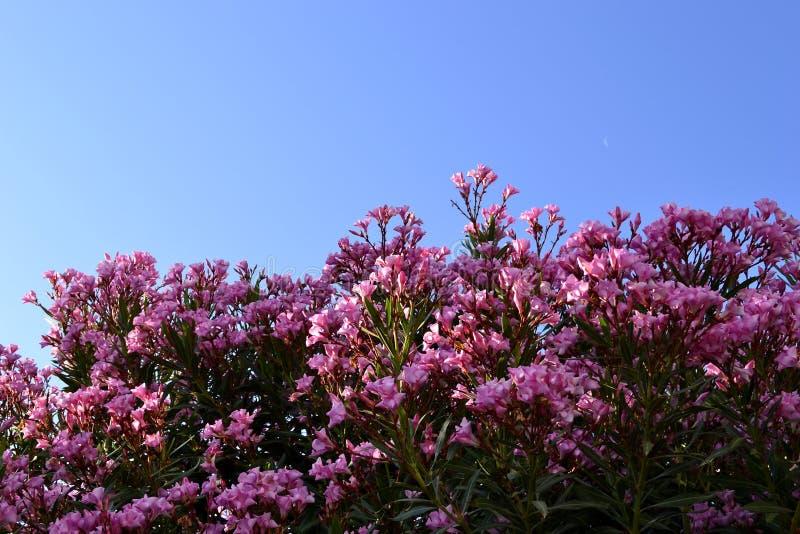Ρόδινα λουλούδια στο Μπους στοκ φωτογραφία με δικαίωμα ελεύθερης χρήσης