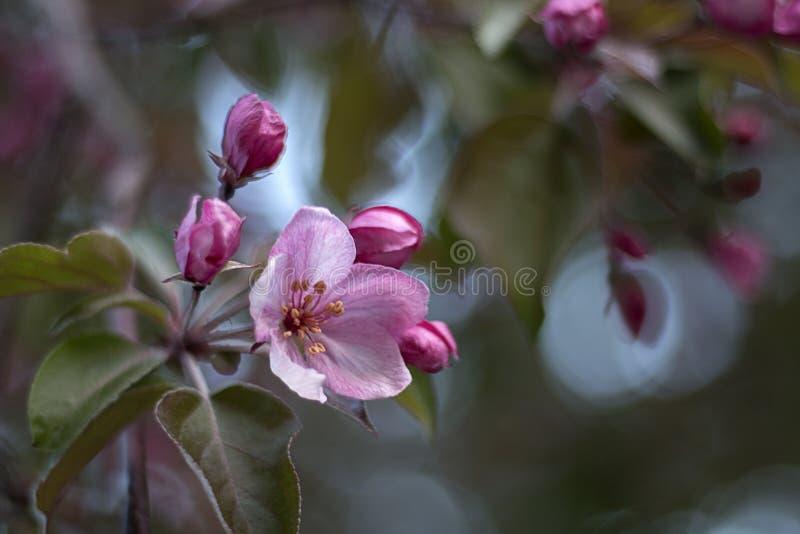 Ρόδινα λουλούδια του δέντρου μηλιάς Άνοιξη στοκ φωτογραφίες