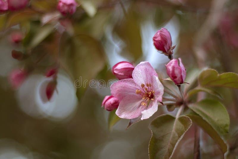 Ρόδινα λουλούδια του δέντρου μηλιάς Άνοιξη στοκ φωτογραφία