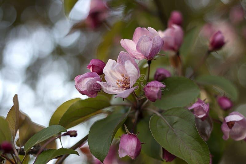 Ρόδινα λουλούδια του δέντρου μηλιάς στοκ φωτογραφία με δικαίωμα ελεύθερης χρήσης