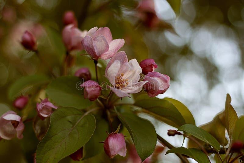Ρόδινα λουλούδια του δέντρου μηλιάς στοκ εικόνες με δικαίωμα ελεύθερης χρήσης