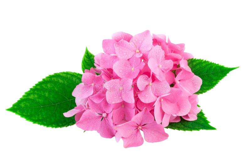 Ρόδινα λουλούδια του hydrangea ή του hortensia στο λευκό με το ψαλίδισμα της πορείας στοκ εικόνες