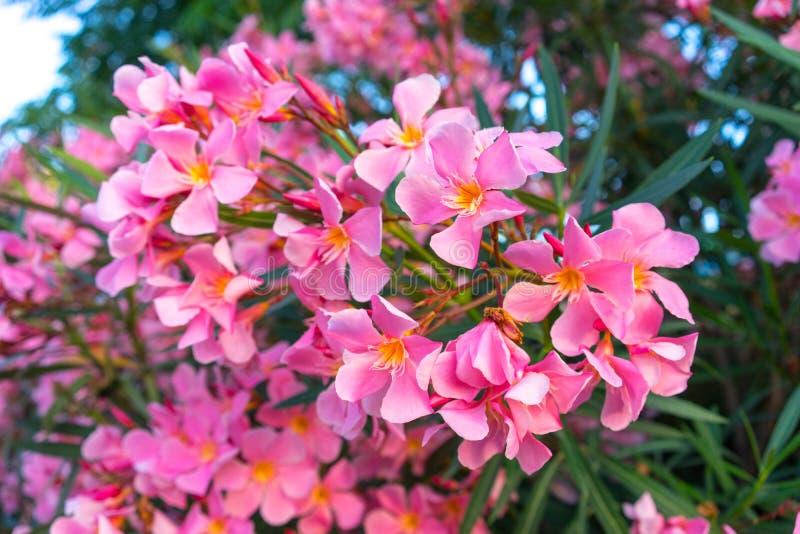 Ρόδινα λουλούδια του oleander στοκ εικόνες