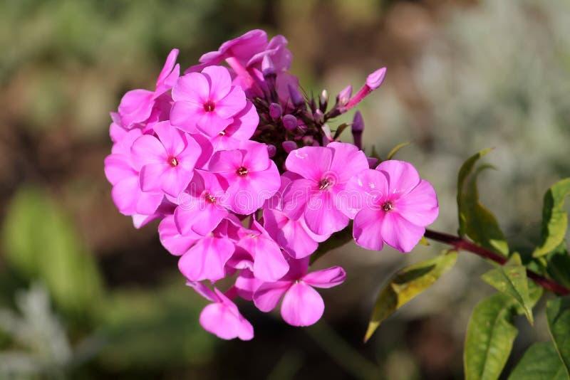 Ρόδινα λουλούδια του paniculata Phlox ή του αιώνιου phlox στοκ εικόνες με δικαίωμα ελεύθερης χρήσης