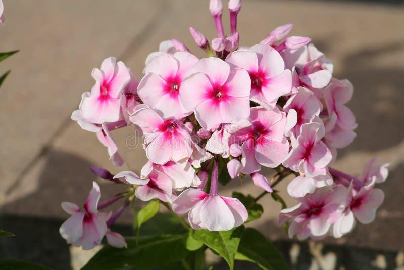 Ρόδινα λουλούδια του paniculata Phlox ή του αιώνιου phlox στοκ εικόνες