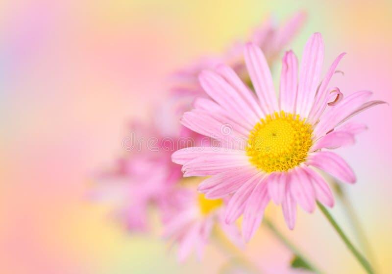 Ρόδινα λουλούδια χρυσάνθεμων στη ζωηρόχρωμη ανασκόπηση στοκ εικόνες