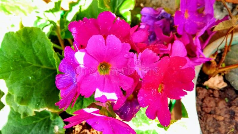 Ρόδινα λουλούδια στοκ εικόνα με δικαίωμα ελεύθερης χρήσης