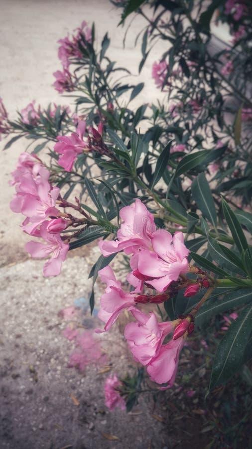 Ρόδινα λουλούδια στοκ φωτογραφία με δικαίωμα ελεύθερης χρήσης