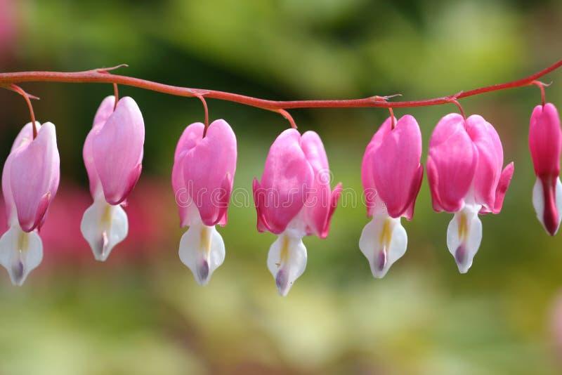Ρόδινα λουλούδια στοκ εικόνα