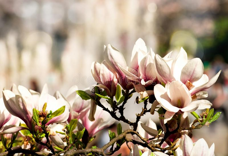 Ρόδινα λουλούδια magnolia στο brunch ενάντια στην οικοδόμηση στοκ εικόνες