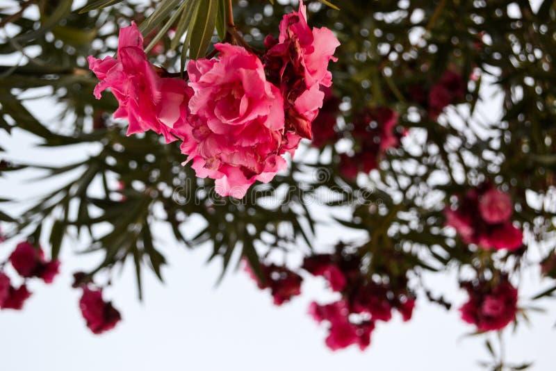 Ρόδινα λουλούδια oleander σε έναν μεγάλο θάμνο Ενάντια στον ουρανό r στοκ φωτογραφία με δικαίωμα ελεύθερης χρήσης