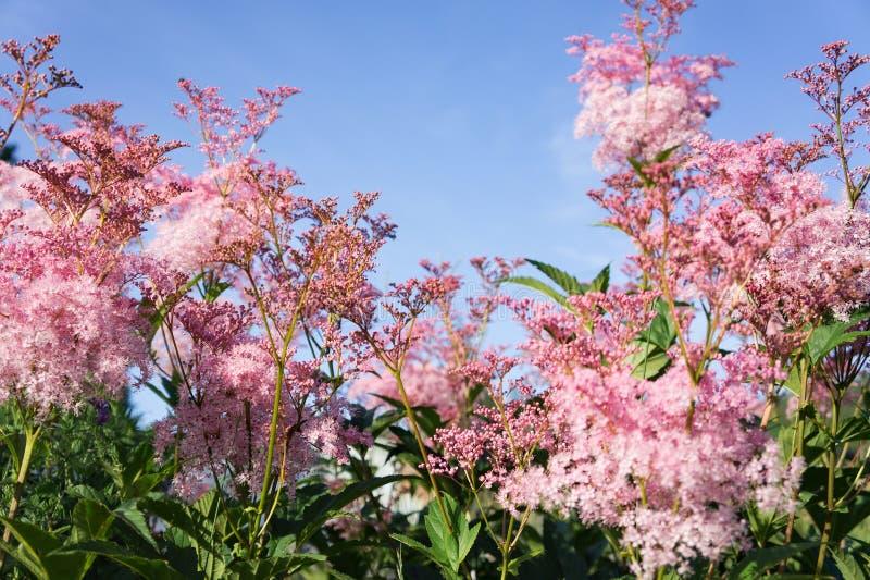 Ρόδινα λουλούδια Rodgersia pinnate στην άνθιση ενάντια στο μπλε ουρανό στοκ φωτογραφία