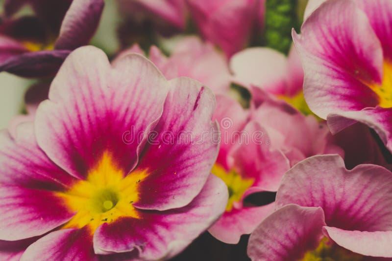 Ρόδινα πορφυρά και κίτρινα λουλούδια Primula στοκ φωτογραφία με δικαίωμα ελεύθερης χρήσης