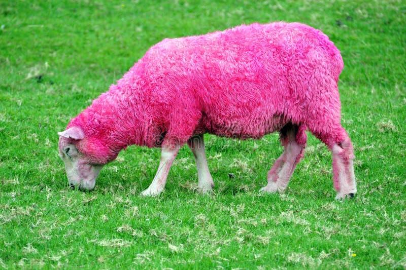 ρόδινα πρόβατα στοκ εικόνα με δικαίωμα ελεύθερης χρήσης