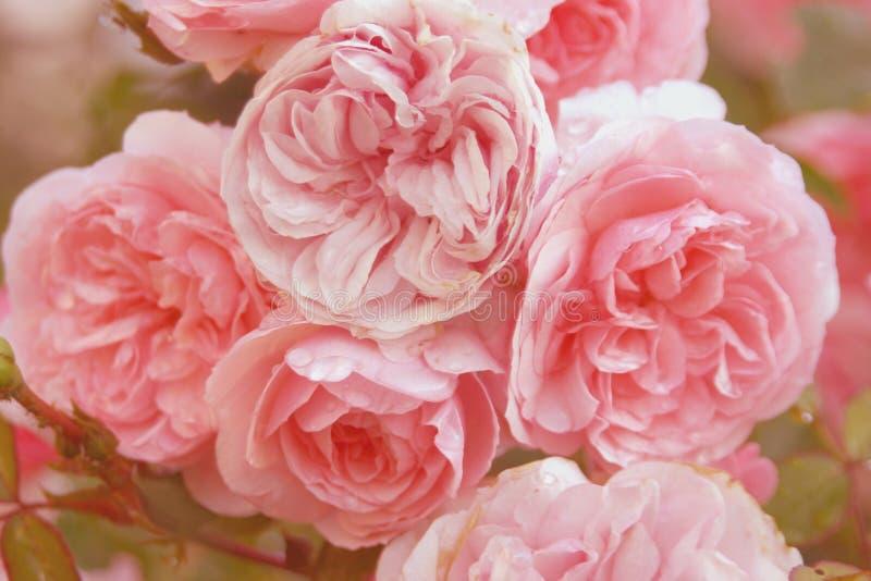 ρόδινα τριαντάφυλλα δεσμών στοκ εικόνες