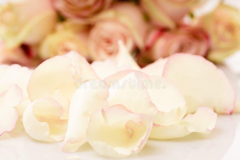ρόδινα τριαντάφυλλα πετάλ& στοκ εικόνα
