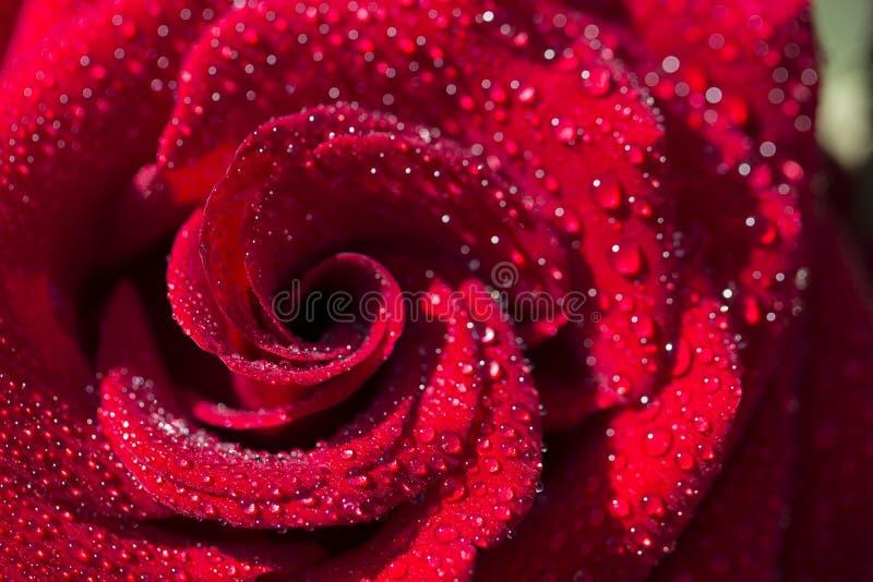 Ρόδινα τριαντάφυλλα που αναρριχούνται στον ξύλινο φράκτη κοντά επάνω στοκ φωτογραφία με δικαίωμα ελεύθερης χρήσης