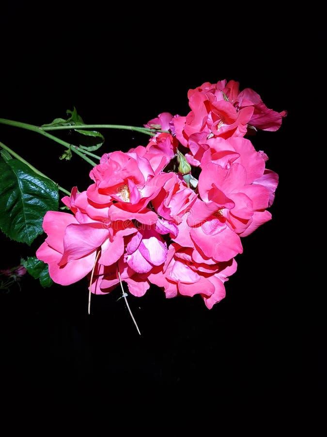 Ρόδινα τριαντάφυλλα σε ένα σκοτεινό υπόβαθρο στοκ εικόνες με δικαίωμα ελεύθερης χρήσης