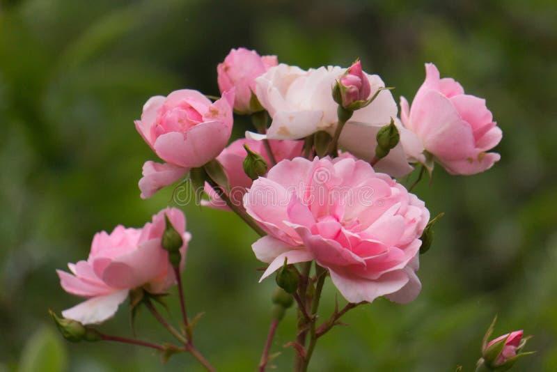 Ρόδινα τριαντάφυλλα στον κήπο στοκ φωτογραφίες με δικαίωμα ελεύθερης χρήσης