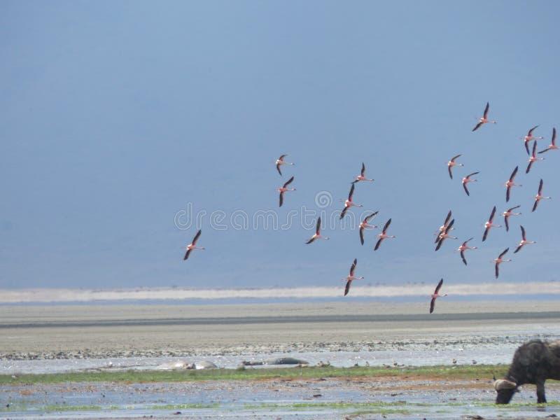 Ρόδινα φλαμίγκο στη λίμνη Manyara στοκ εικόνες