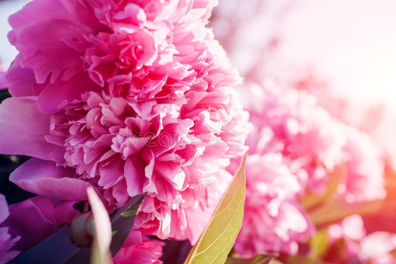 Ρόδινα peony λουλούδια στον κήπο στο ηλιοβασίλεμα Άνοιξη, θερινό άνθος στοκ φωτογραφίες