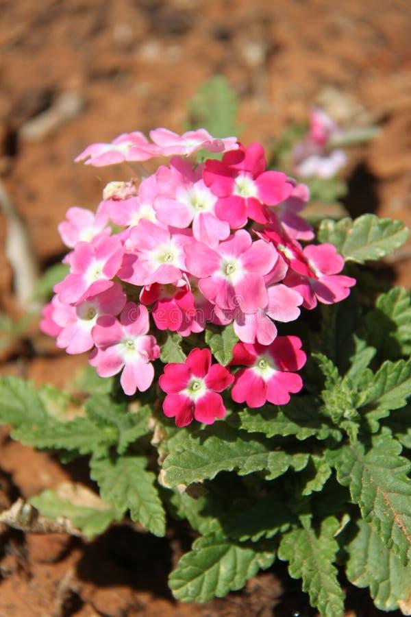 Ρόδινα verbena λουλούδια στοκ φωτογραφία