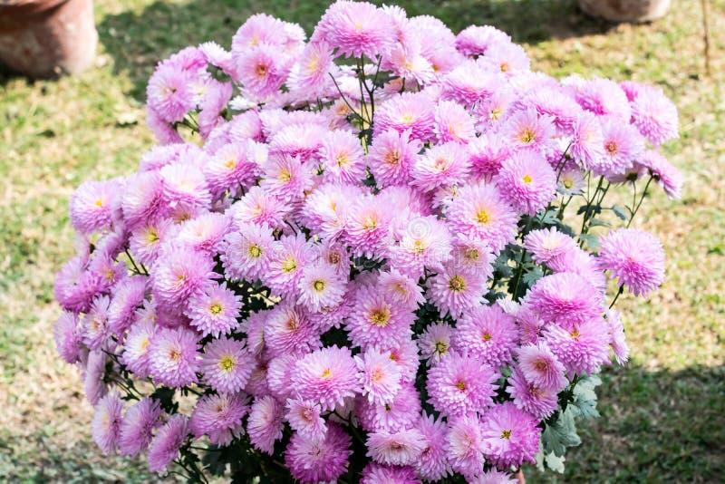 Ρόδινες εγκαταστάσεις λουλουδιών νταλιών, ένα γένος των θαμνωδών, tuberous, ποωδών αιώνιων εγκαταστάσεων που αυξάνονται στον ήλιο στοκ φωτογραφίες