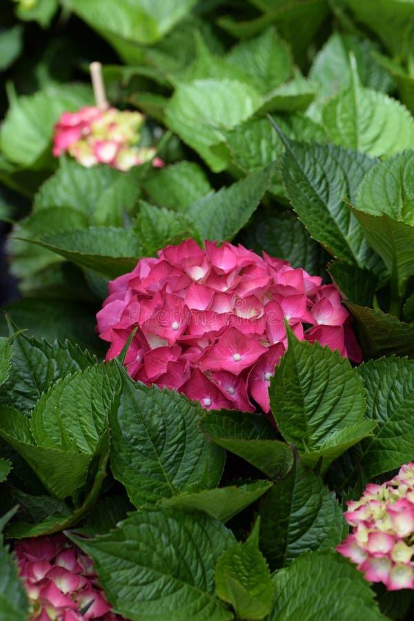 Ρόδινες εγκαταστάσεις hortensia λουλουδιών macrophylla Hydrangea στοκ εικόνα με δικαίωμα ελεύθερης χρήσης
