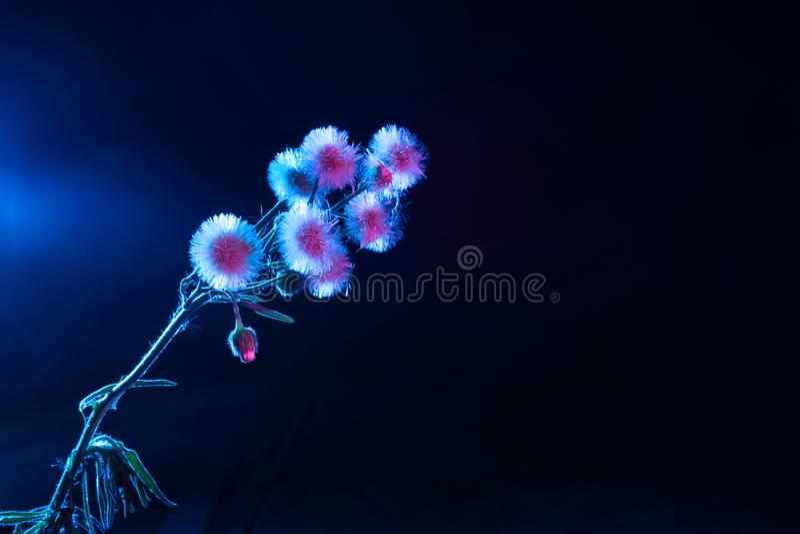 Ρόδινες και μπλε πικραλίδες στοκ φωτογραφίες