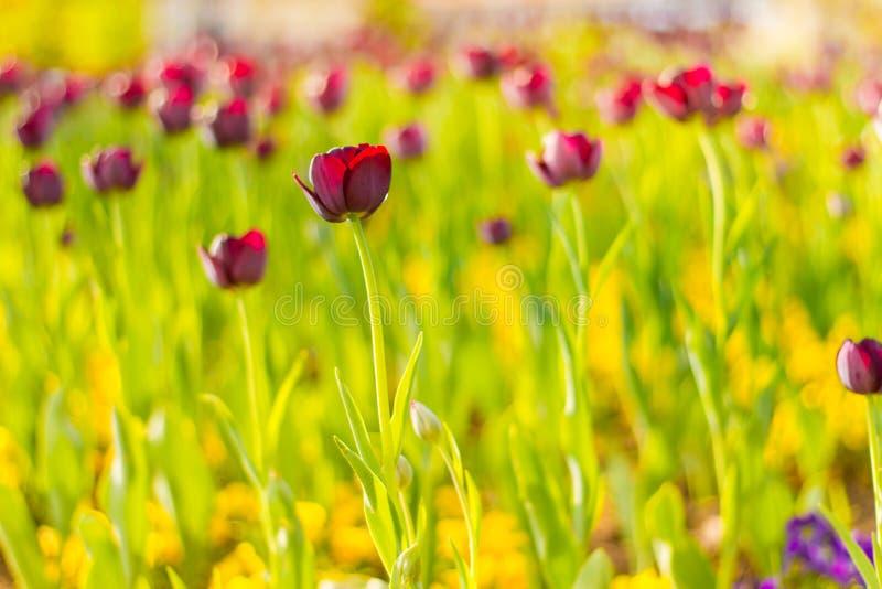 Ρόδινες τουλίπες, κινηματογράφηση σε πρώτο πλάνο λουλουδιών άνοιξη, θολωμένο υπόβαθρο και ζωηρόχρωμες λεπτομέρειες στοκ φωτογραφία με δικαίωμα ελεύθερης χρήσης