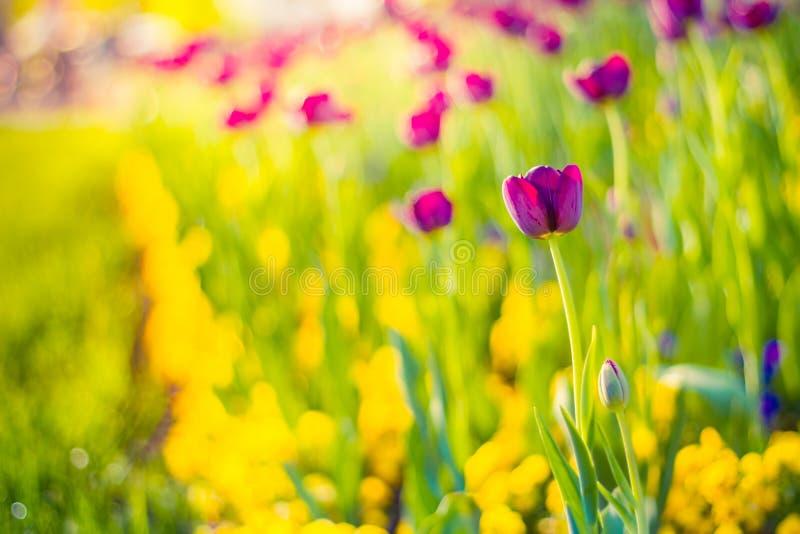 Ρόδινες τουλίπες, κινηματογράφηση σε πρώτο πλάνο λουλουδιών άνοιξη, θολωμένο υπόβαθρο και ζωηρόχρωμες λεπτομέρειες στοκ εικόνες