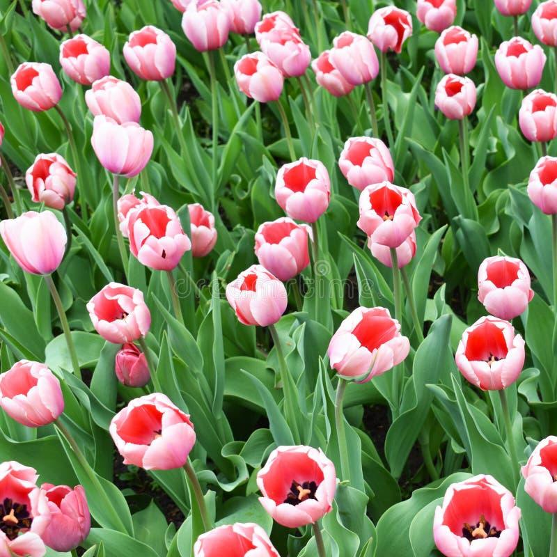 Ρόδινες τουλίπες στον κήπο λουλουδιών στοκ εικόνα με δικαίωμα ελεύθερης χρήσης