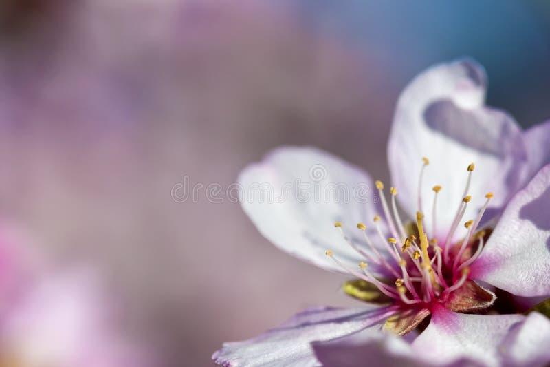 ρόδινη άνοιξη λουλουδιών ανασκόπησης αμυγδάλων στοκ φωτογραφία