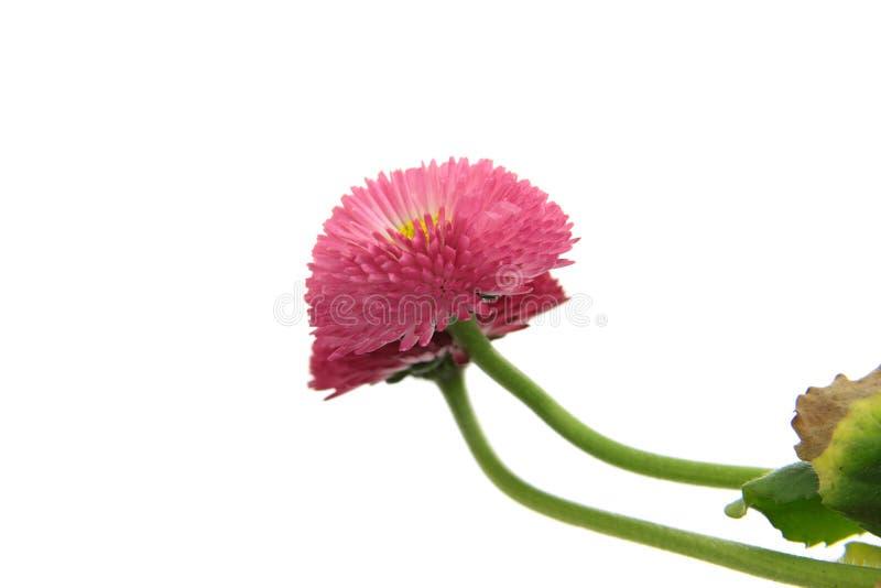 ρόδινη άνοιξη λουλουδιών στοκ εικόνες