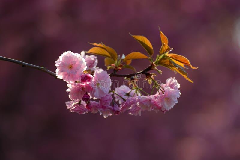 Ρόδινη δέσμη λουλουδιών Sakura στοκ εικόνες