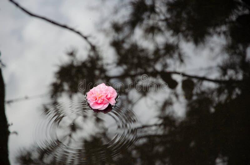 Ρόδινη επιπλέουσα λακκούβα λουλουδιών στοκ εικόνες