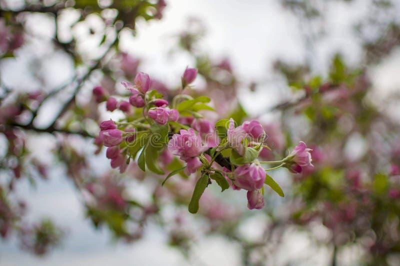 Ρόδινη εποχή άνθισης λουλουδιών sakura την άνοιξη Άνθος κερασιών με τη μαλακή εστίαση, εστίαση στη συστάδα κεντρικών λουλουδιών στοκ φωτογραφίες με δικαίωμα ελεύθερης χρήσης